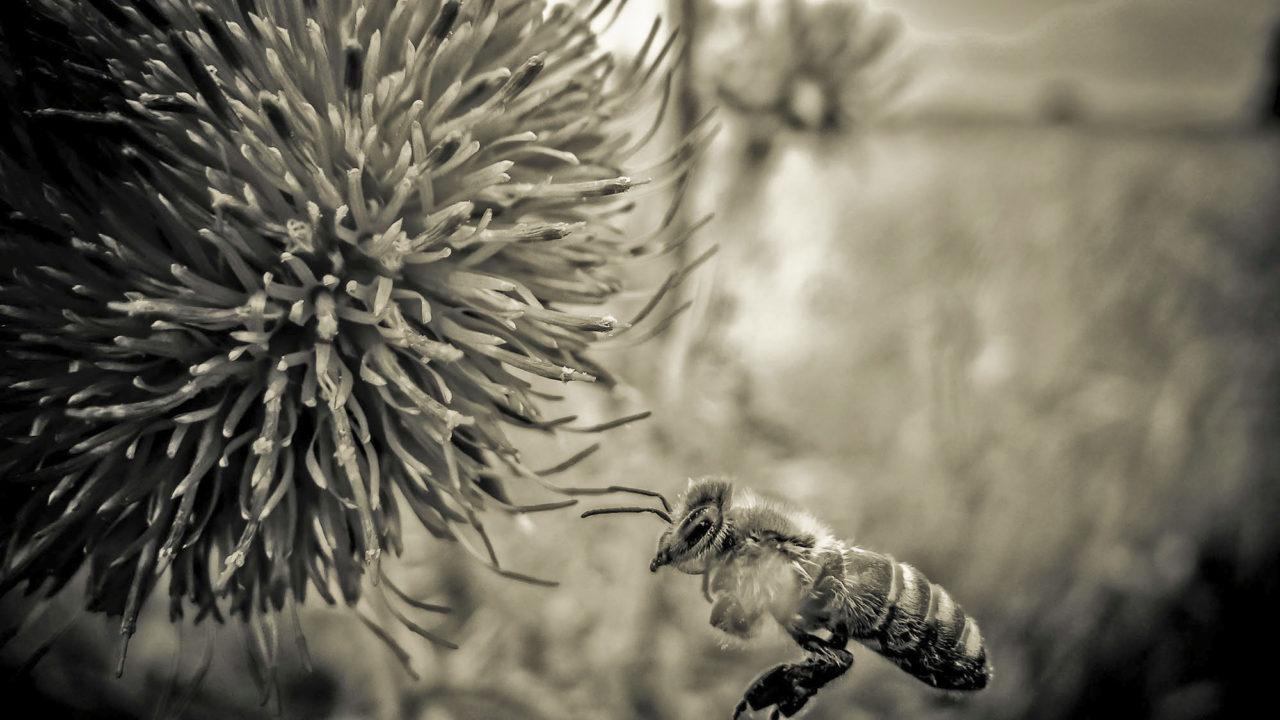 Biene im Anflug auf eine Distel